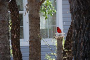 cardinal in teacup